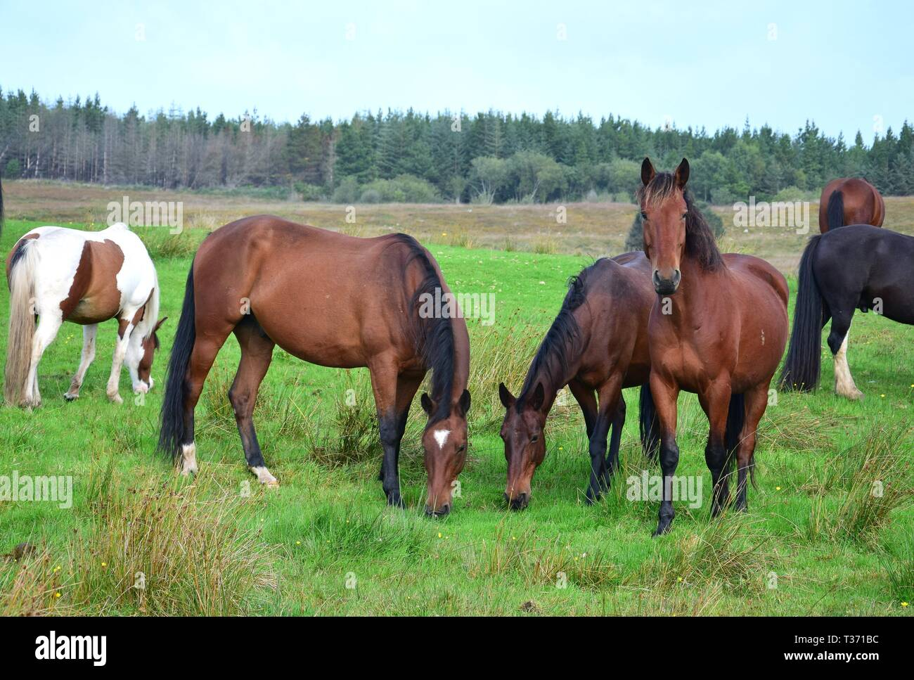 A group of bay horses on a meadow in Ireland. One is looking, two are grazing. Irish landscape in the background. Stock Photo