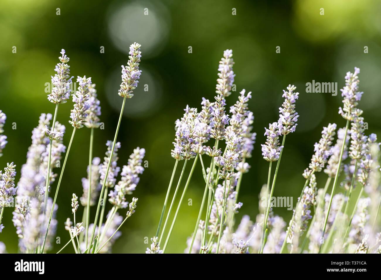 Lavender in bloom - Stock Image