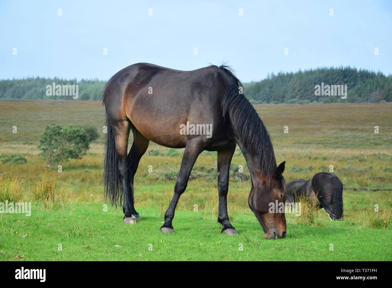 Grazing bay horse in Ireland. Beautiful landscape and another horse in the background. Stock Photo