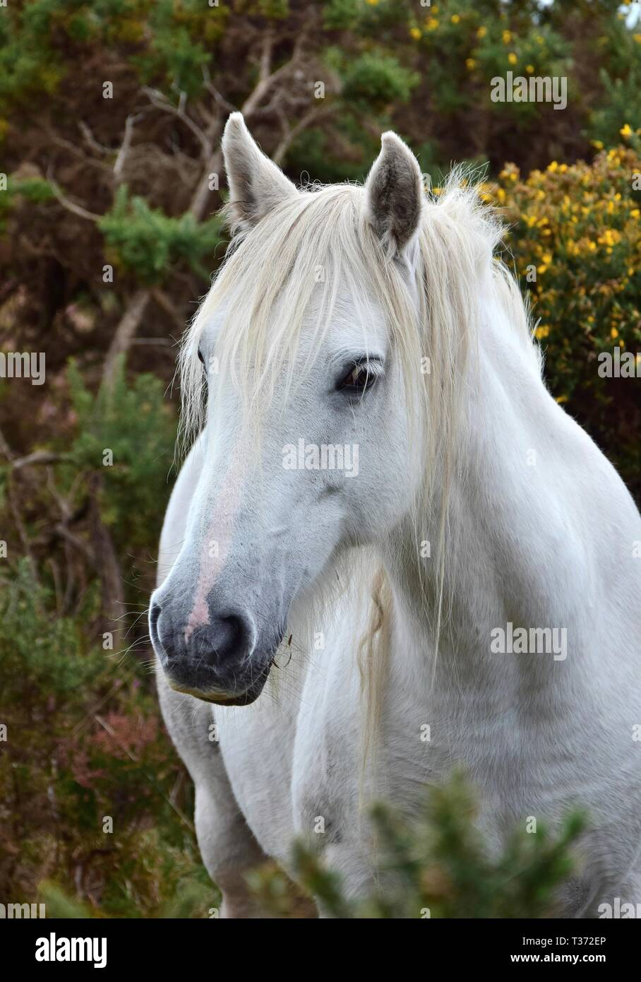 Portrait Of A Beautiful White Horse In Ireland Bushes With Yellow Blossoms In The Background Stock Photo Alamy