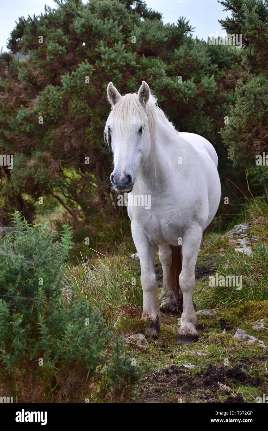 Beautiful White Horse In Ireland Bushes And Other Vegetation In The Background Stock Photo Alamy