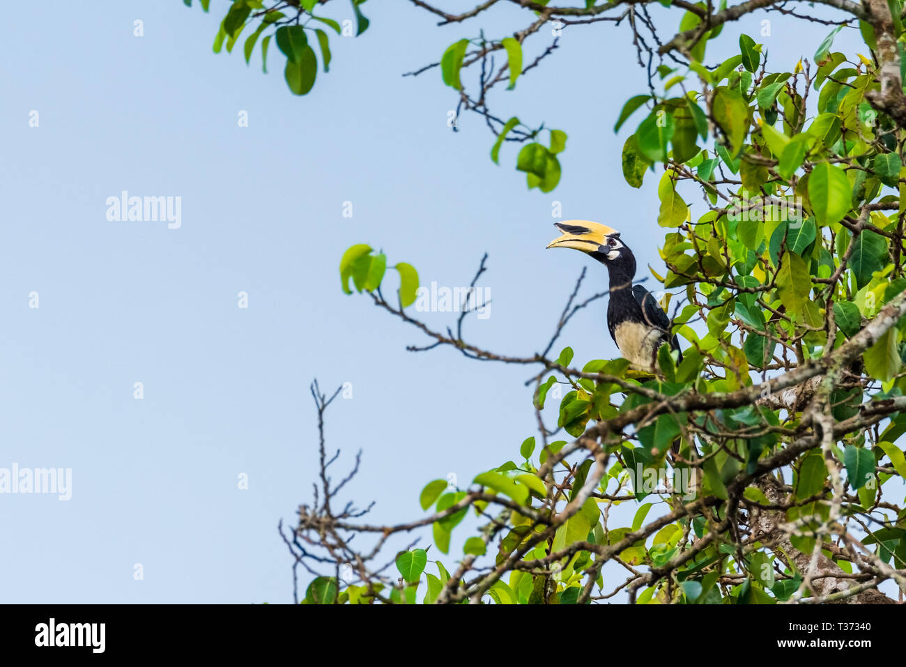Oriental pied hornbill female in the nature Stock Photo