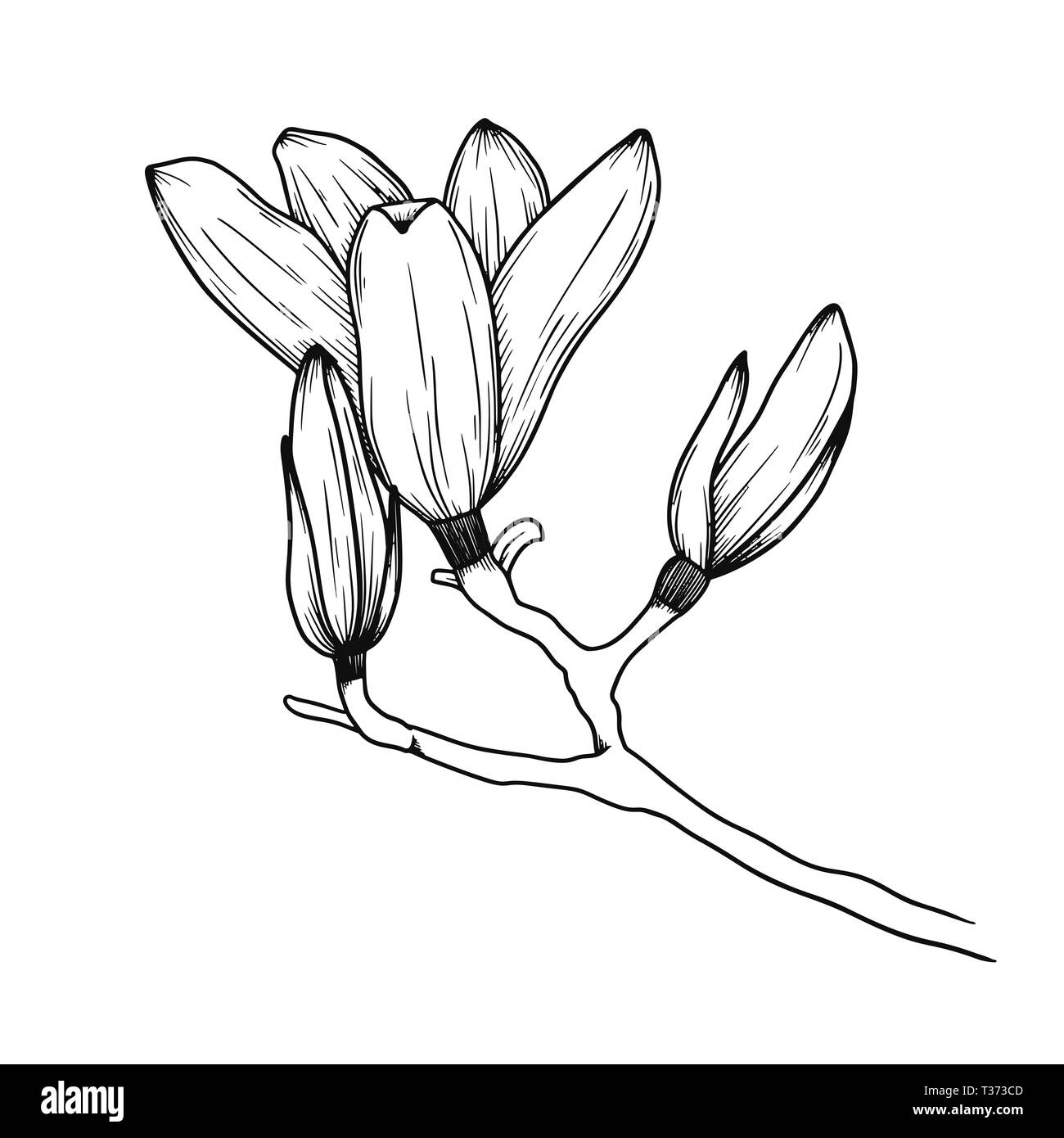 Magnolia Flowers Realistic Sketch Of A Blooming Flower Vector