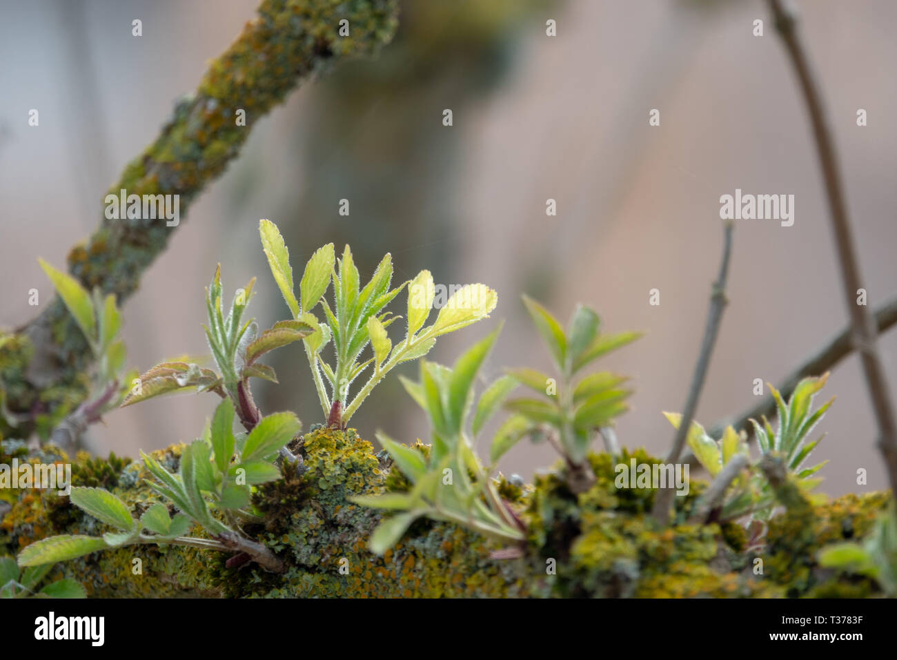 young shoots grow from an old branch Stock Photo