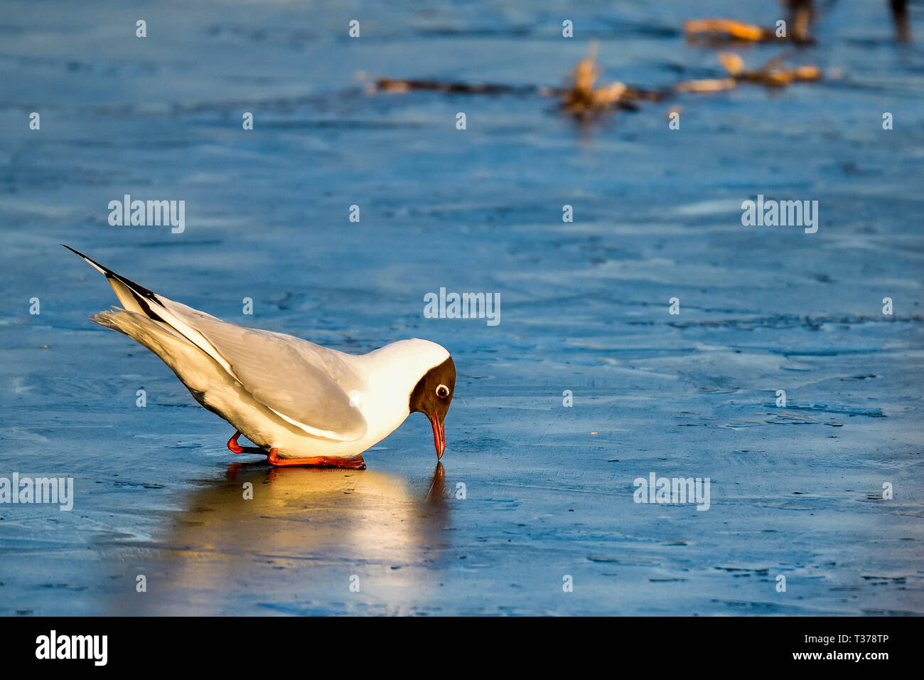 Black-headed Gull is analyzing if the ice will melt soon? Or Gull just sees something interesting under the ice? - Stock Image