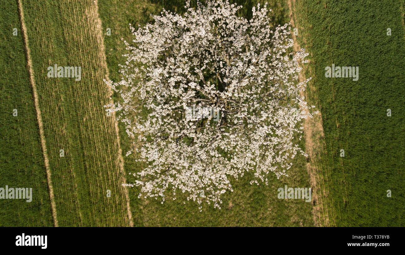 Cherry trees - Stock Image