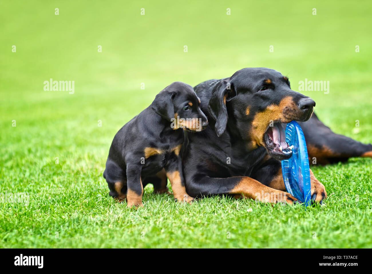 Puppy is playing with his mother. He is a black and brown doberman and he is on the garden or park. Background is green grass. - Stock Image