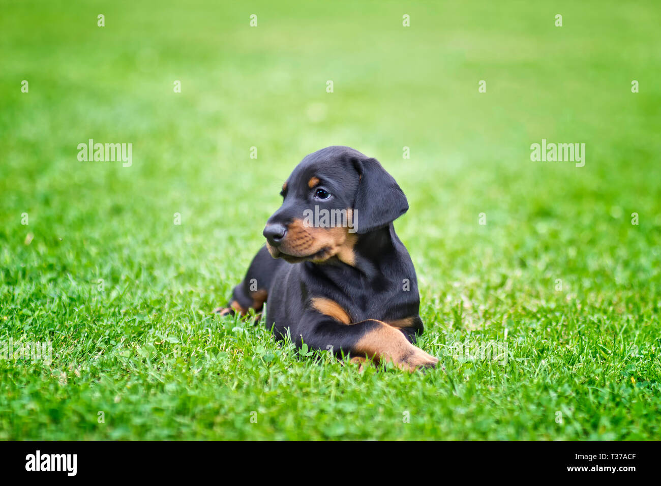 Doberman puppy in grass. Puppy lies on the green grass. He is black and brown and so cute. - Stock Image