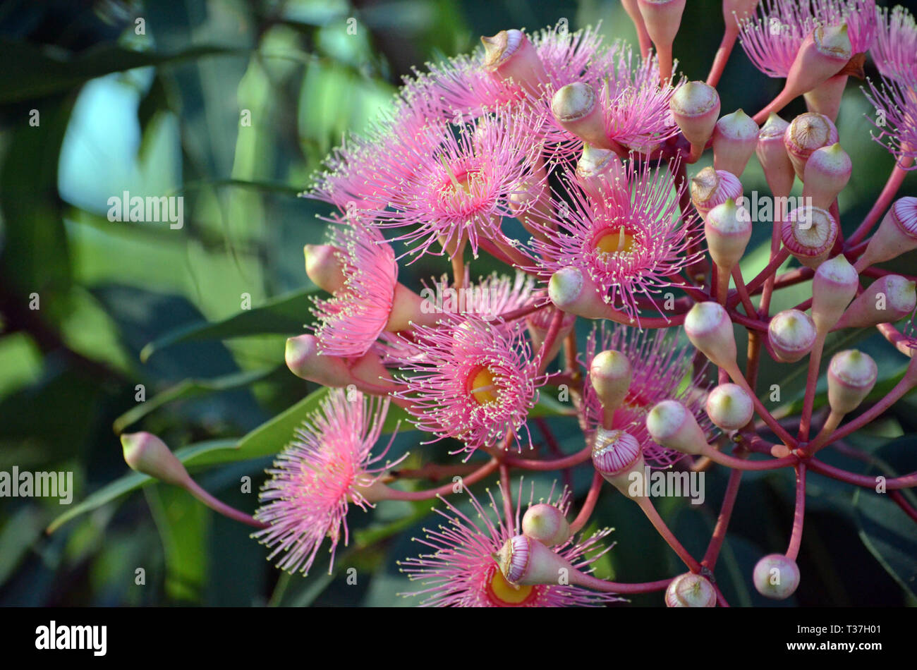 Pink blossoms and buds of the Australian native Corymbia cultivar Summer Beauty, family Myrtaceae. - Stock Image