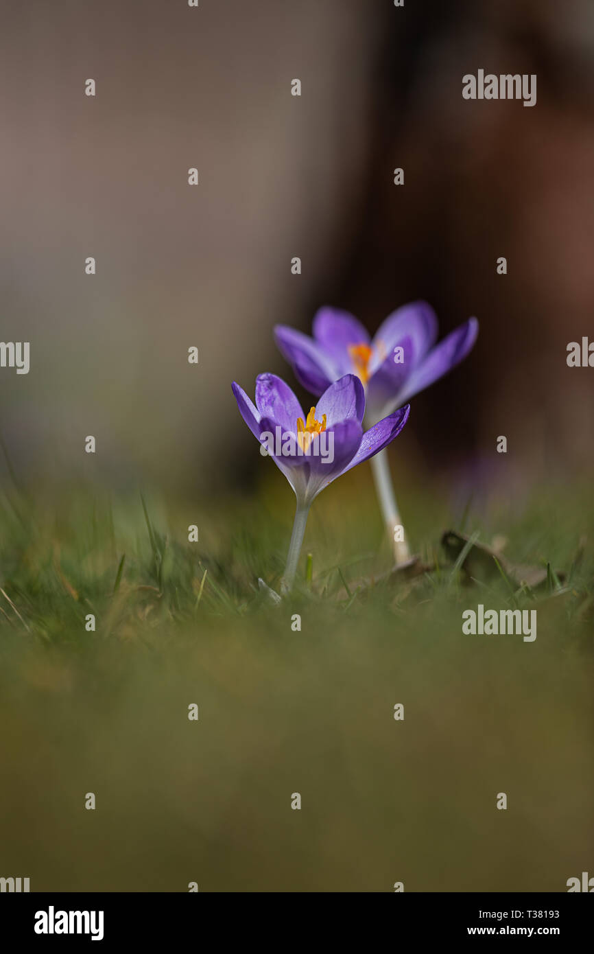 2 small crocuses shallow depth of field plenty of room for text - Stock Image
