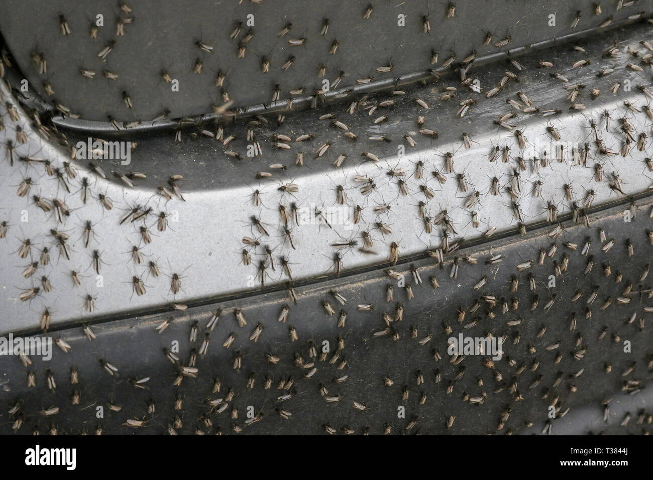 Lough Neagh, County Armagh, Northern Ireland. 07 April 2019. UK weather - a grey day across parts of Northern Ireland. With temperatures around 11C and following yesterday's warm sunshine the mayfly have hatched very early this year in huge numbers around the shores of the lough. Mayflies (ephemeroptera) on a parked car.Credit:CAZIMB/Alamy Live News. - Stock Image