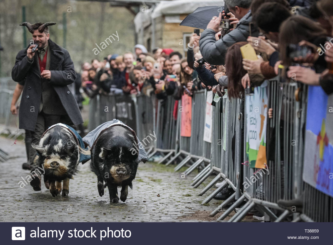 London, UK. 7th April 2019. Holmes and Watson Stoat pigs race before the main goat event at the 11th Annual Oxford vs Cambridge Goat Race at Spitalfields City Farm. Credit: Guy Corbishley/Alamy Live News - Stock Image
