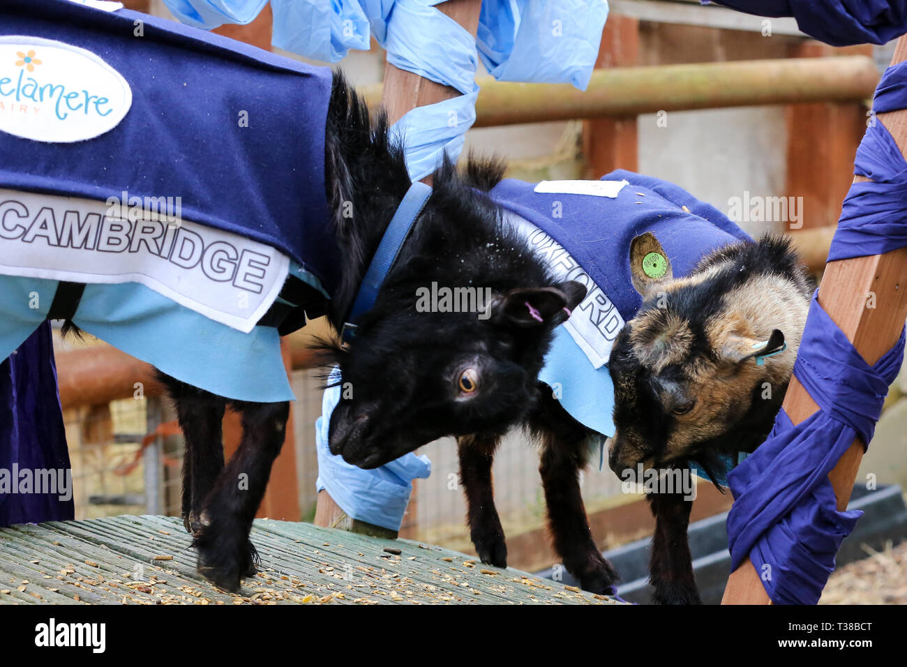 London, UK, UK. 7th Apr, 2019. The winner Hamish representing Oxford is seen with Hugo representing Cambridge on the podium during the Oxford vs Cambridge Goat Race in East London.Two pygmy goats compete during the 10th Oxford and Cambridge Goat Race at Spitalfields City Farm, Bethnal Green in East London. The annual fundraising event, which takes place at the same time as the Oxford and Cambridge boat race, where two goats, one named Hamish representing Oxford and the other Hugo representing Cambridge to be crowned King Billy. (Credit Image: © Dinendra Haria/SOPA Images via ZUM - Stock Image