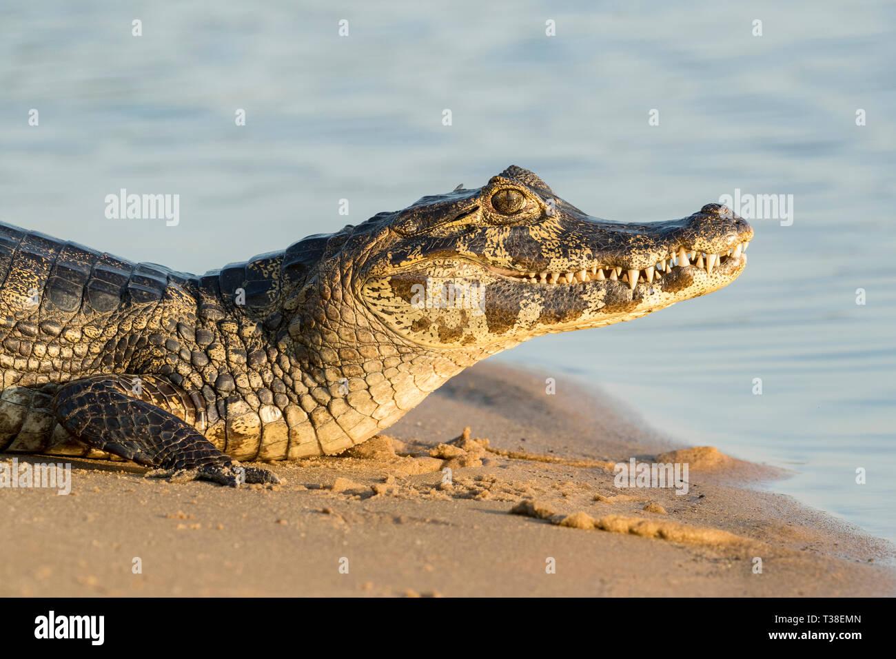 Yacare Caiman, Caiman yacare, Paraguay River, Pantanal, Brazil - Stock Image