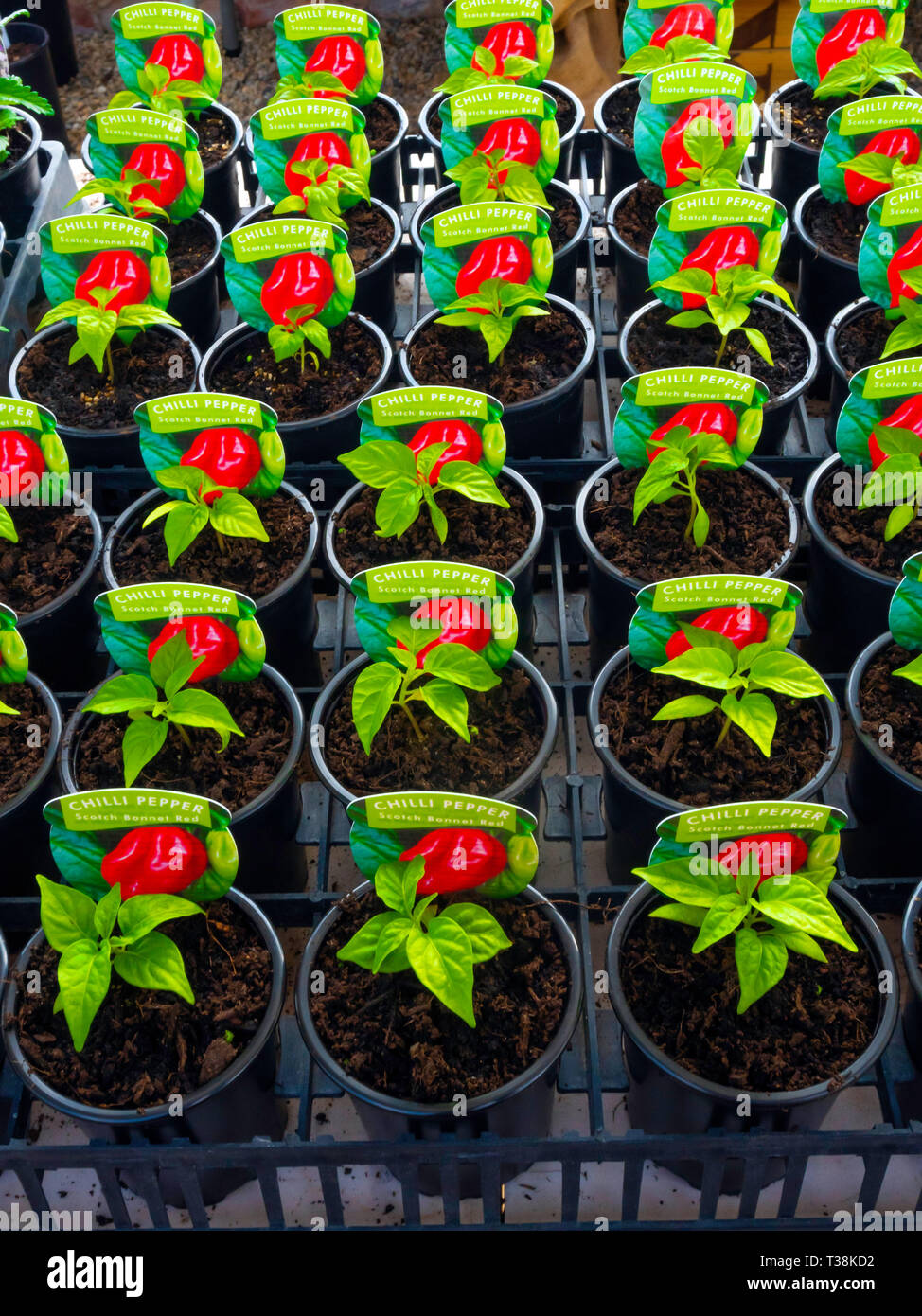 Plant nursery display of young  plants in a greenhouse in early spring,  Chilli   Pepper Scotch Bonnet Red for later sale as bedding plants Stock Photo