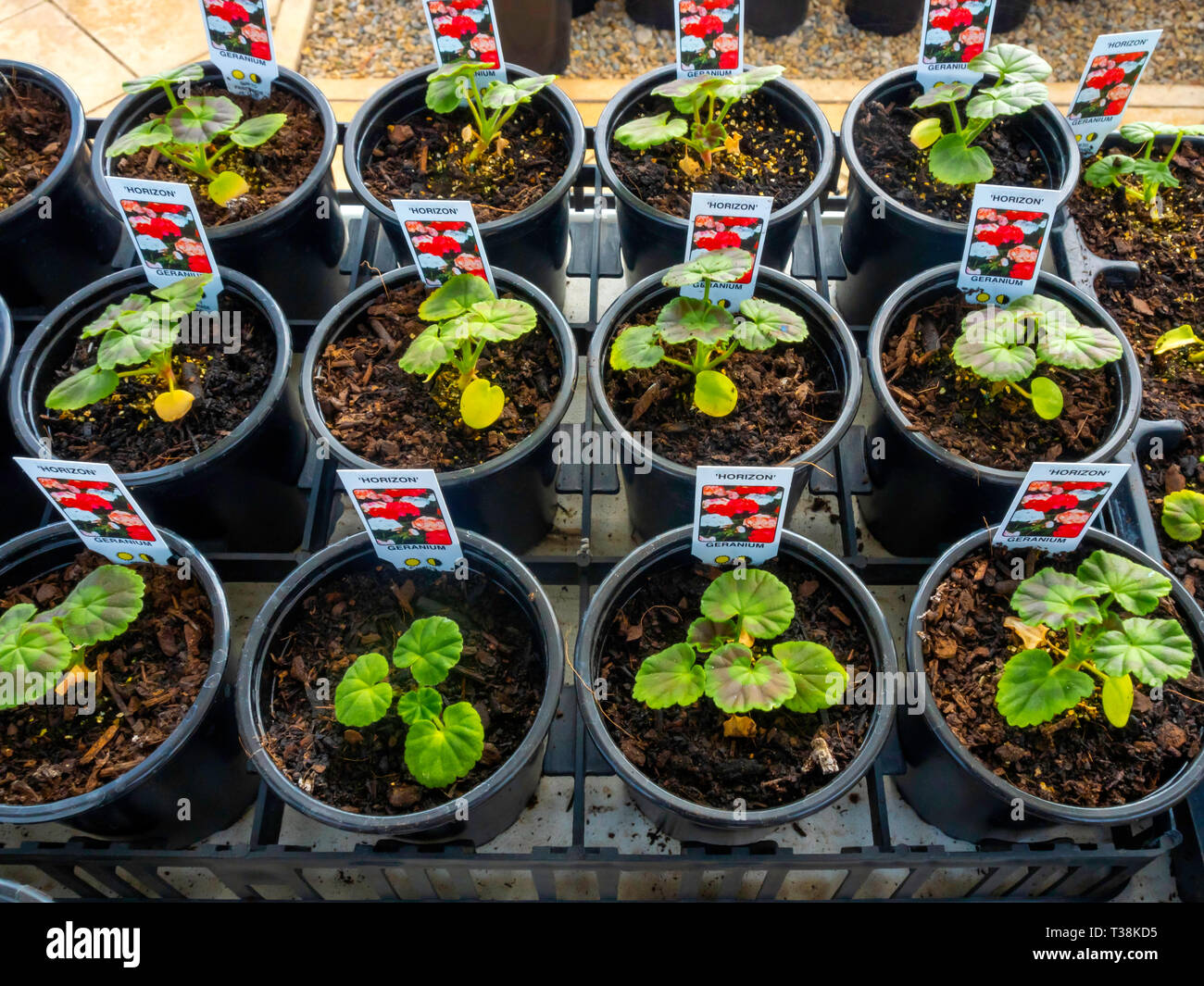 Plant nursery display of young flower plants in a greenhouse in early spring Geraniums for later sale as bedding plants for planting. Stock Photo