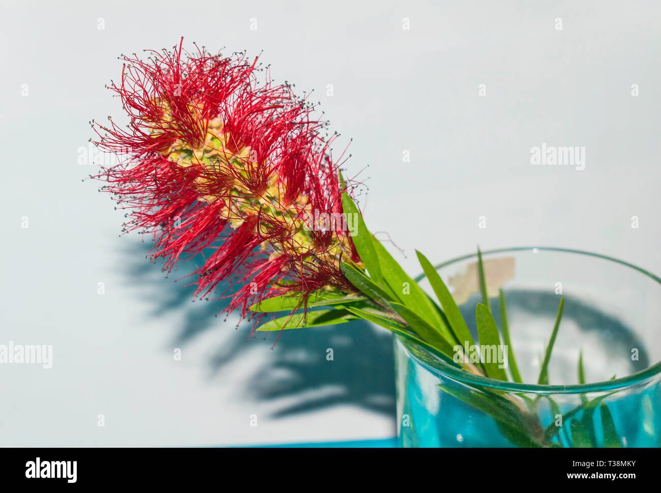 closeup of red beautiful callistemon flower,bottle brush plant in a glass. Stock Photo