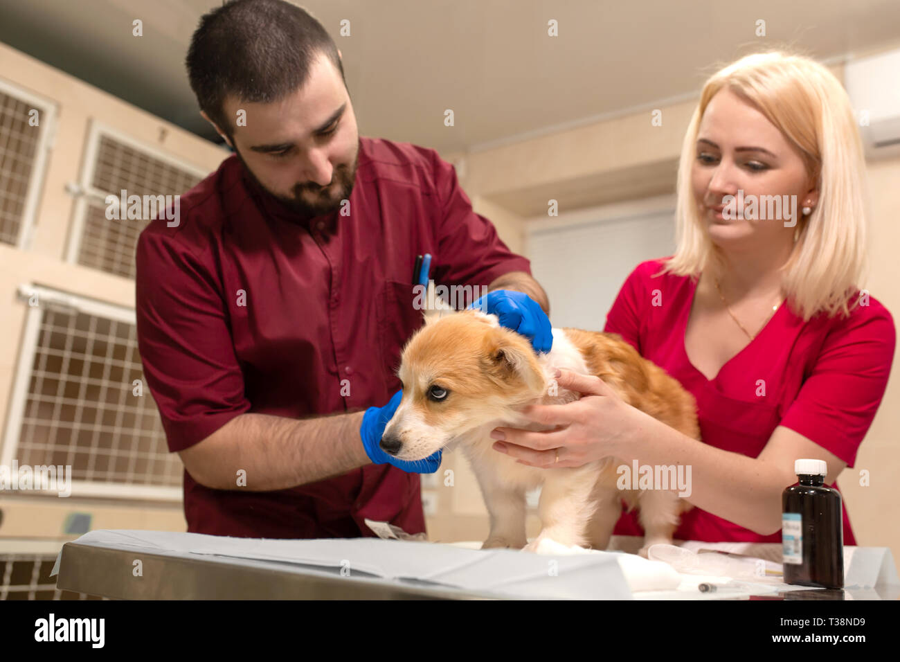 Veterinary doctors exam little corgi dog in manipulation room of pet clinic. Pet health care. - Stock Image