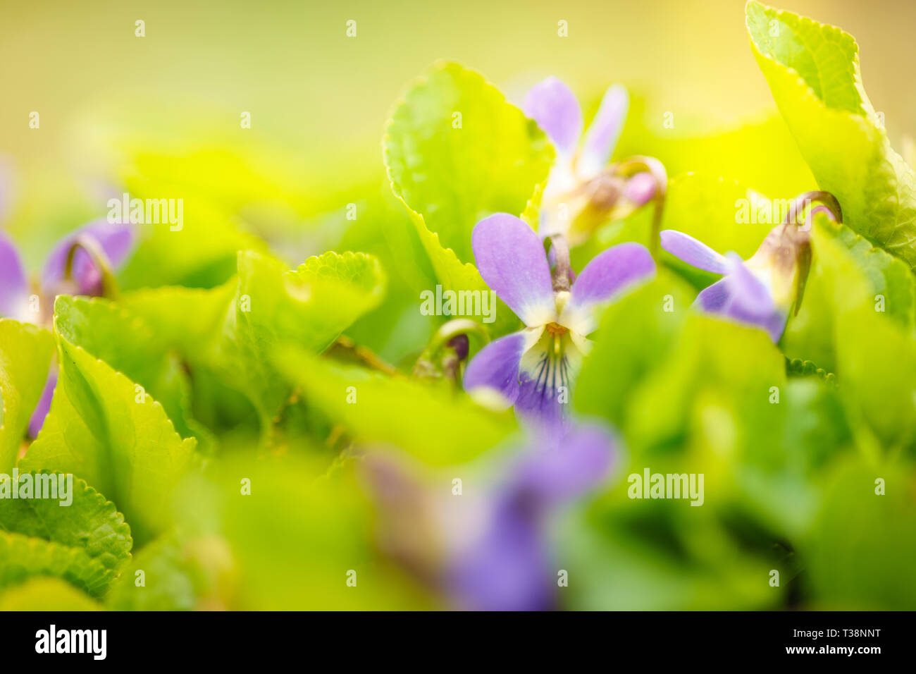 flower field. The first spring flowers with beautiful sunshine. - Stock Image