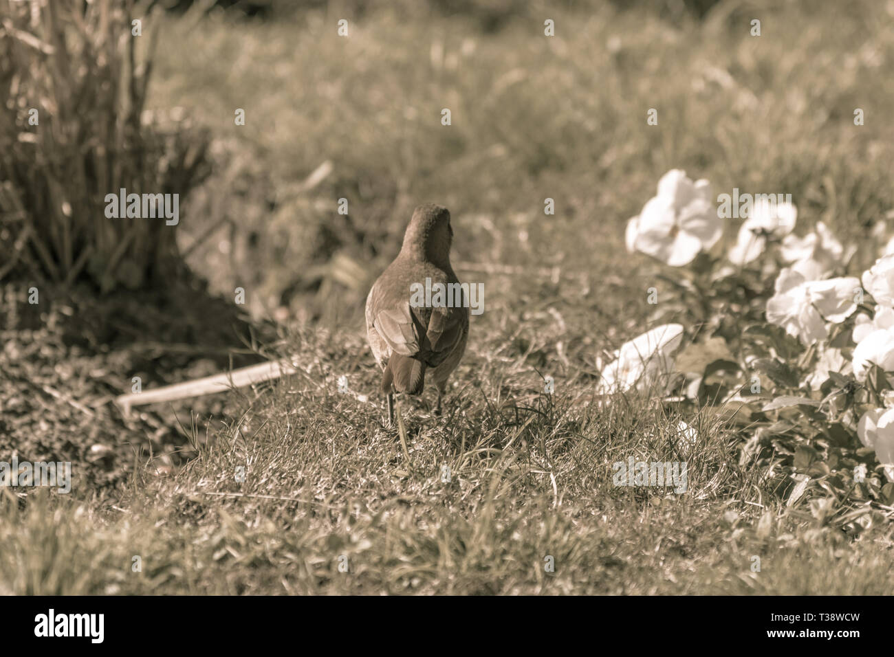 Little bird walking with total freedom in a park. Photograph taken in Punta del Este, Uruguay. - Stock Image