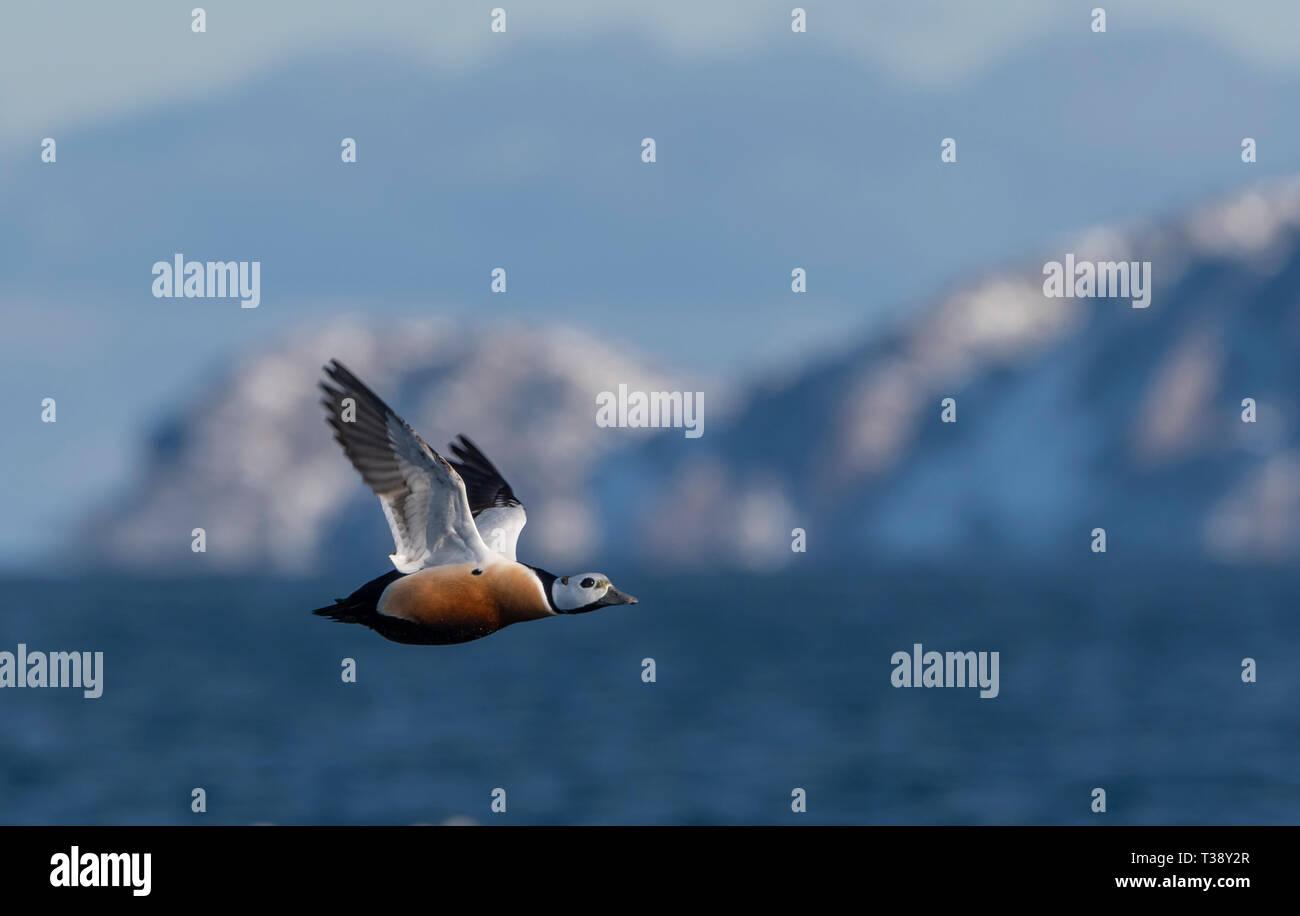 Stellers Eider in flight Stock Photo