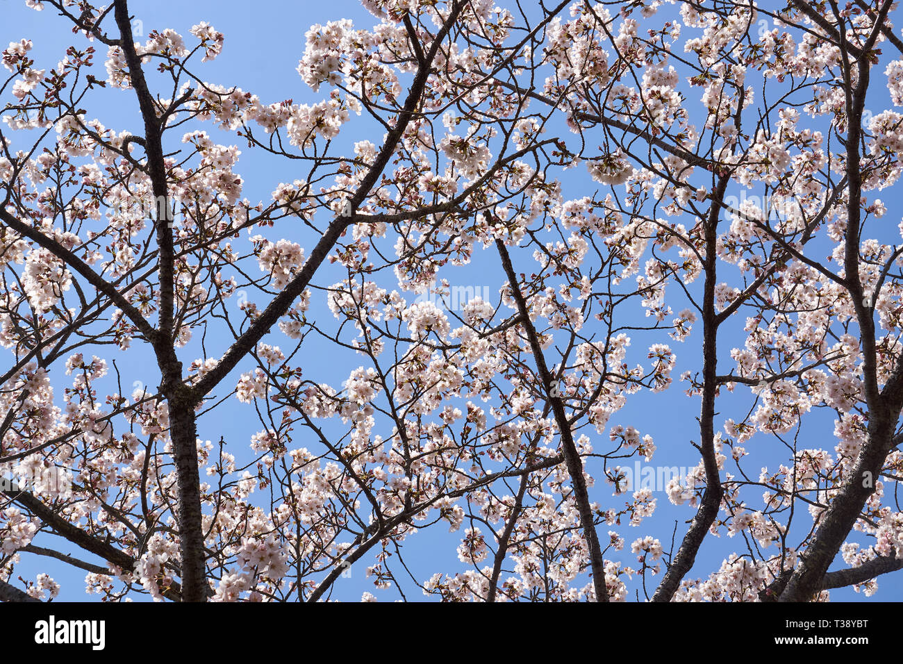 Cherry Blossom Tree Silhouette High Resolution Stock Photography And Images Alamy