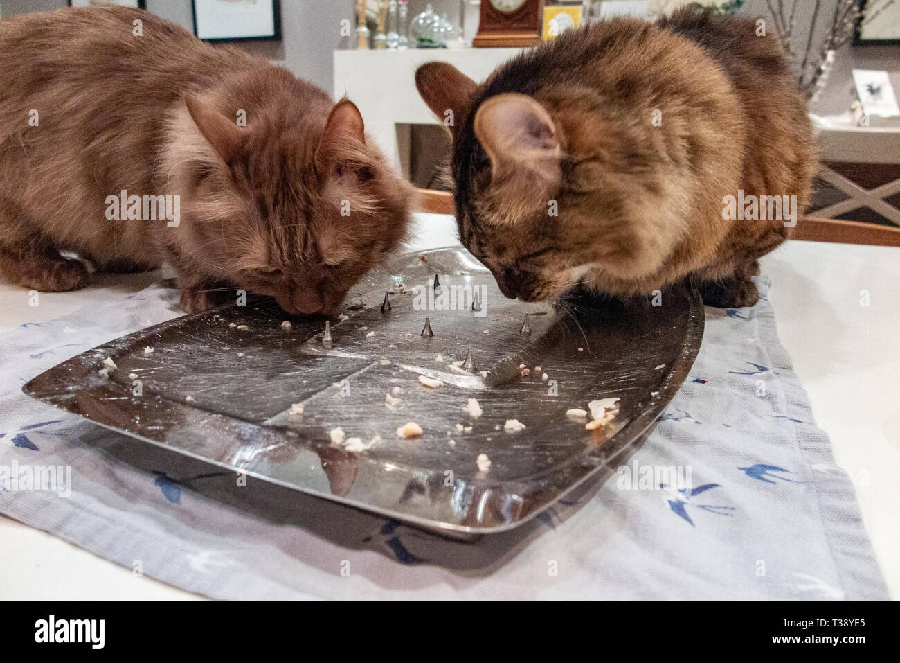Two Munchkin cats lick a carving plate clean after dinner Stock Photo