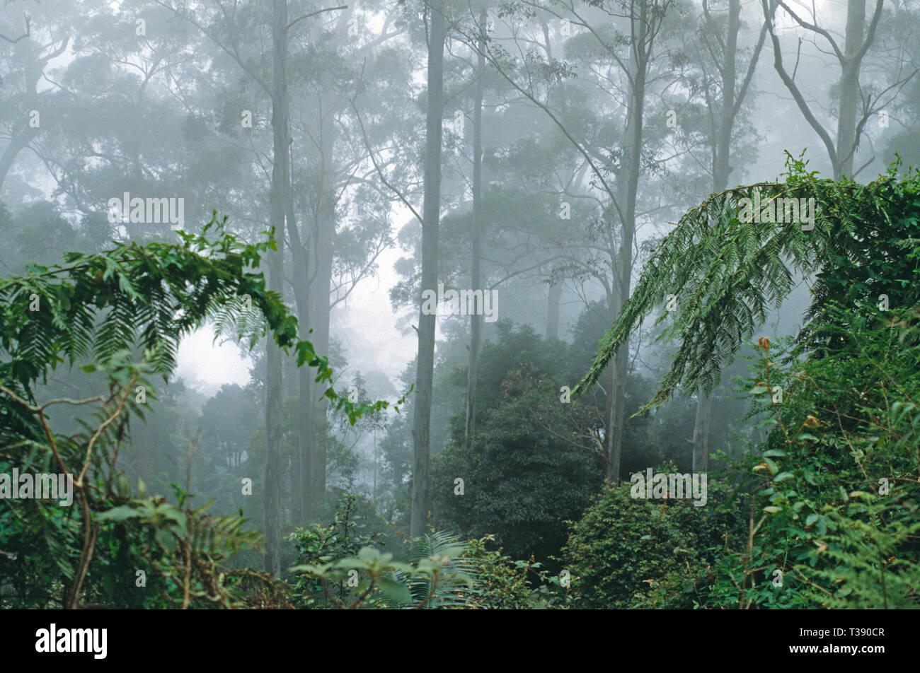 Australia.  Victoria. Misty forest. Yarra Ranges. Mountain Ash trees (Eucalyptus Regnans). - Stock Image