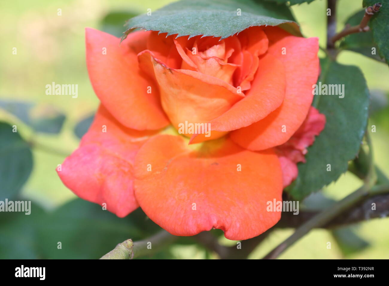 Pink color rose flower - Stock Image