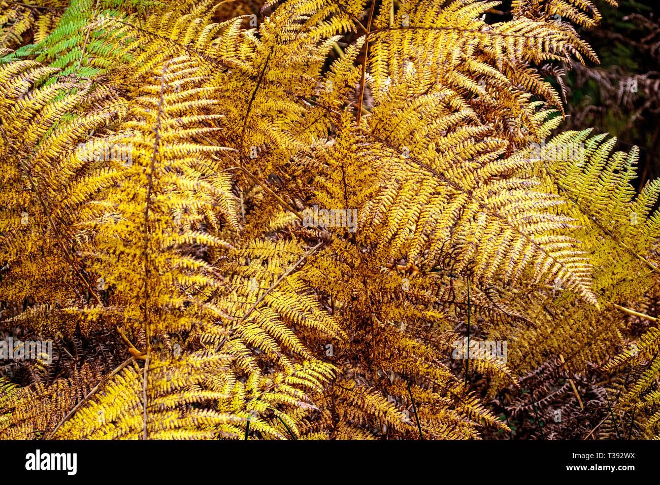 Woodland Fern, UK - Stock Image