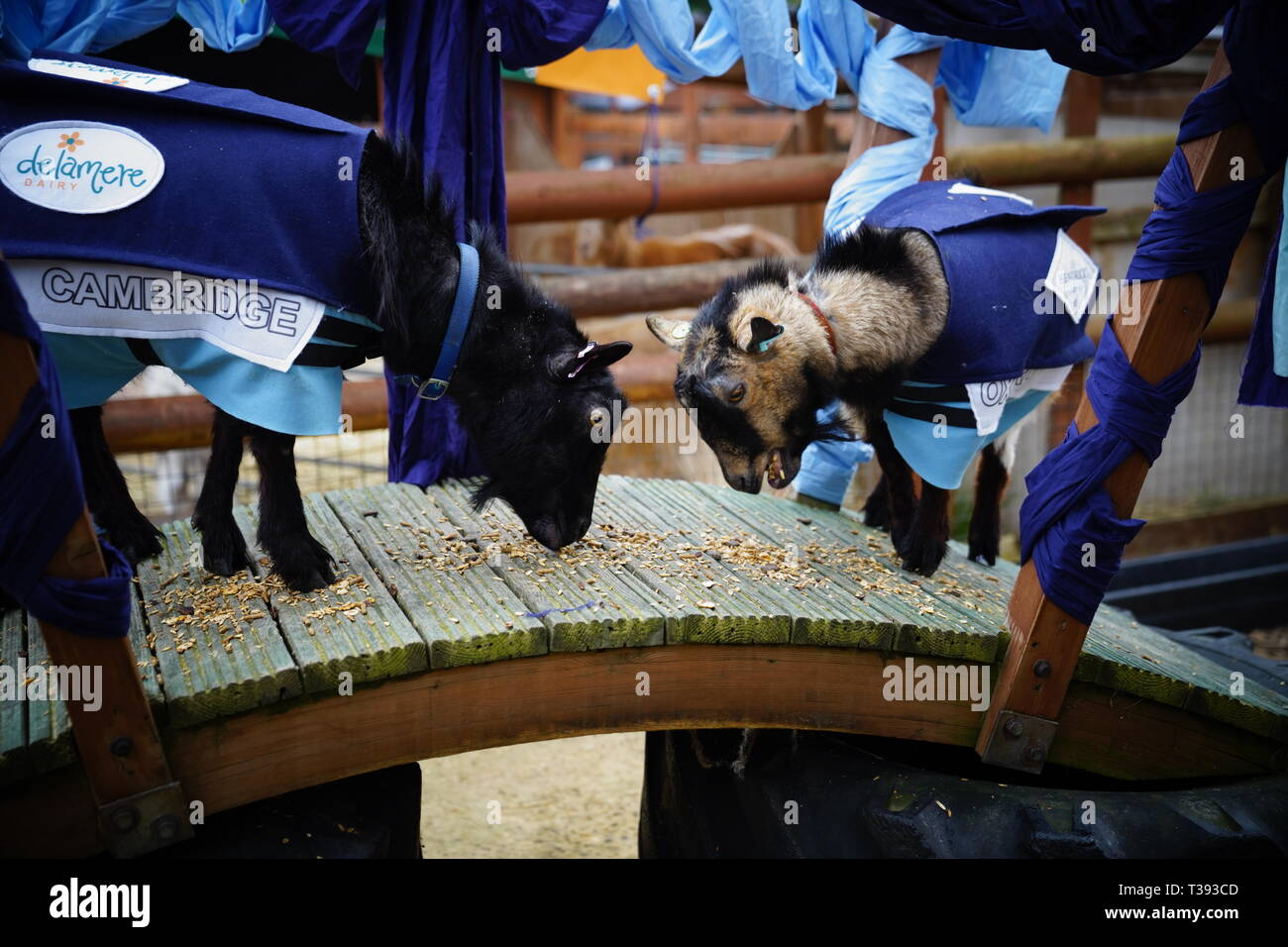 Coinciding with the Oxford & Cambridge Boat Race, two goats (one representing Oxford and one representing Cambridge) race for victory. - Stock Image
