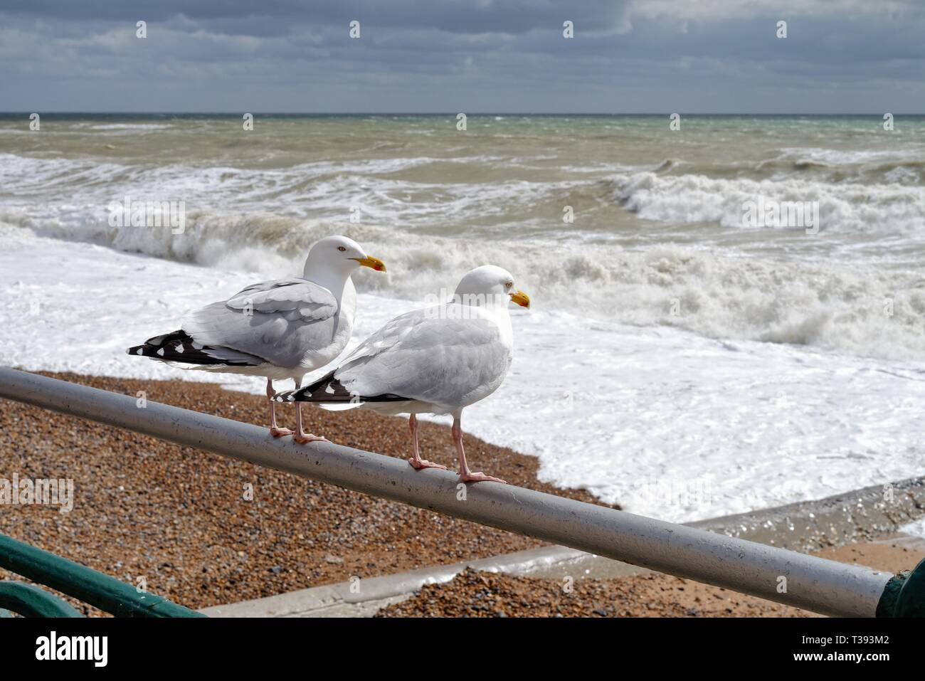 Close up of two herring gulls,Larus argentatus, perched on a seafront railing looking out at a rough stormy sea in Hove East Sussex England UK - Stock Image