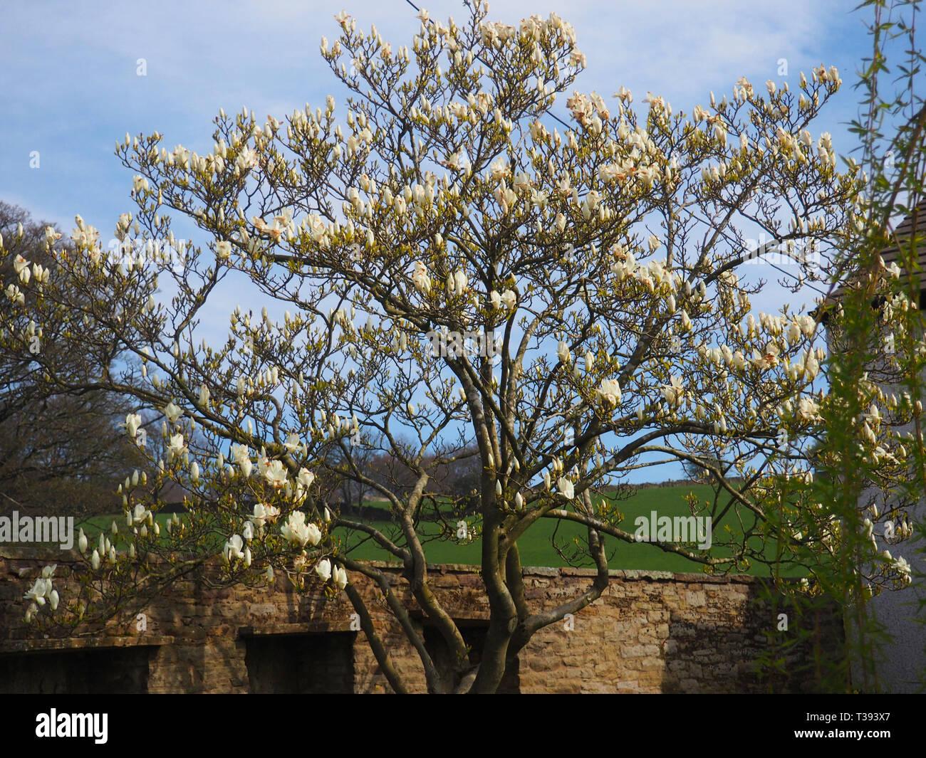 Magnolia blossom, Bollington, Cheshire, UK Stock Photo