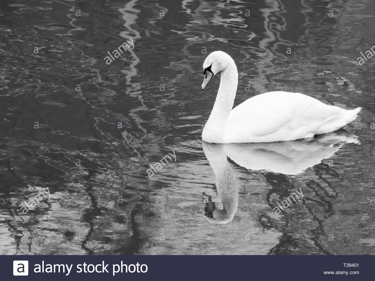 Artistic black and white photo of a white swan swimming alone in a lake. Concept of sadness, loneliness and misery. Stock Photo