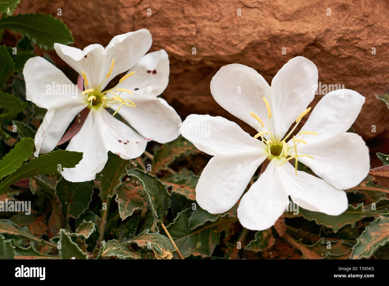 The white desert flower, Onagraceae Oenothera caespitosa, grows in the red earth of Arches National Park in Moab, Utah, USA. - Stock Image