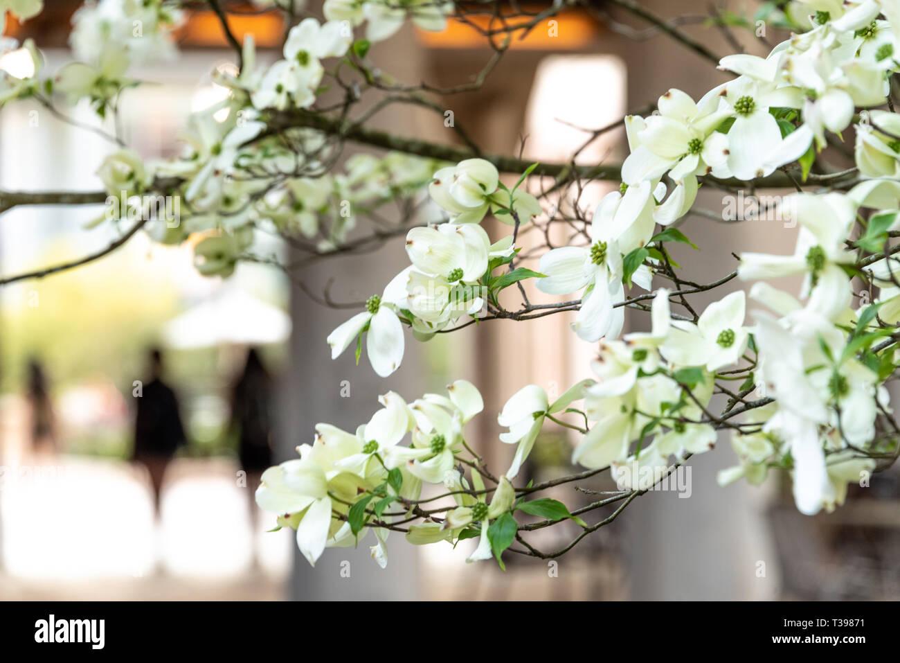White dogwood blossoms announce springtime in Atlanta, Georgia on the campus of Emory University. (USA) Stock Photo