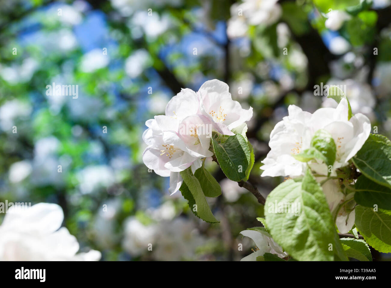 Beautiful Large White Flowers Of The Fruit Tree In Spring Stock