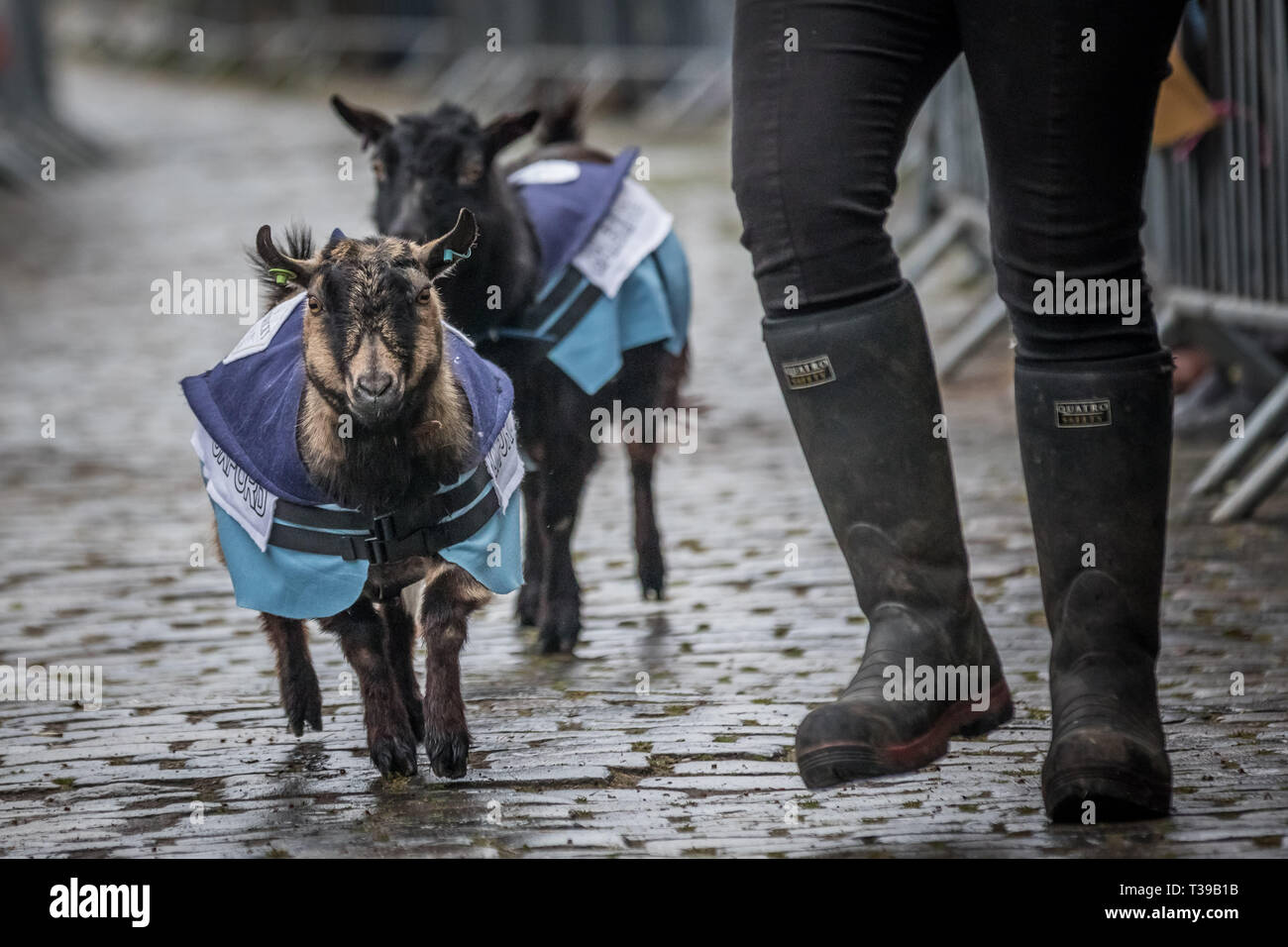 London, UK. 7th April, 2019. 11th Annual Oxford vs Cambridge Goat Race at Spitalfields City Farm in east London. Credit: Guy Corbishley/Alamy Live New Stock Photo