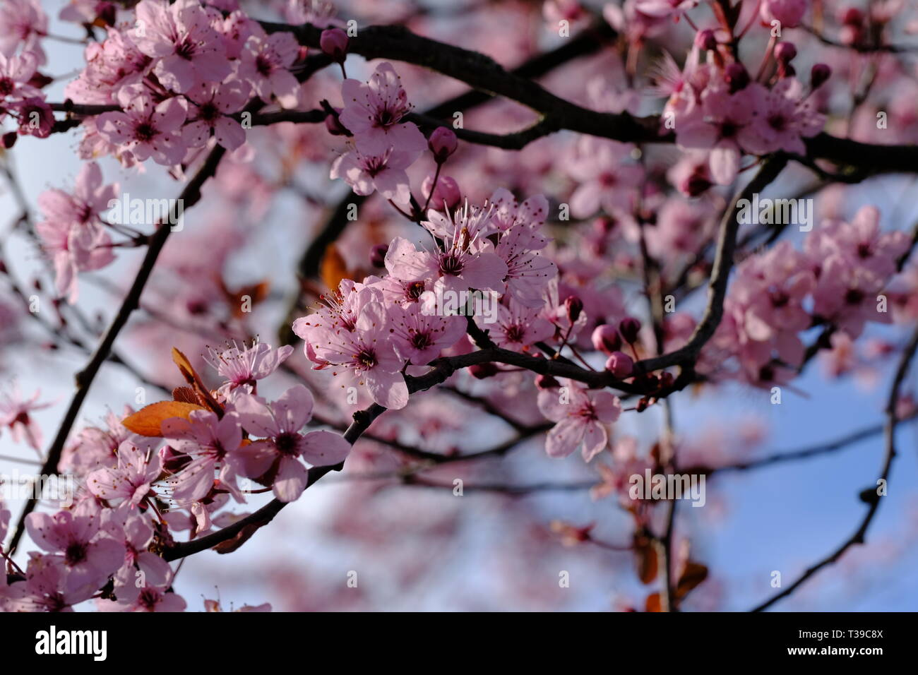 Decorative Or Ornamental Plum Tree In Flower Stock Photo
