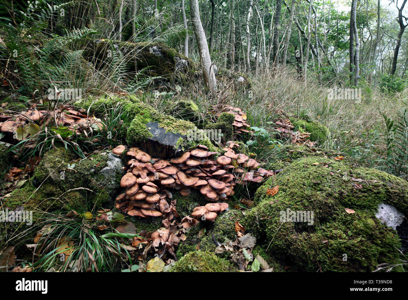 Clusters of Honey Fungus (Armillaria mellea) growing around dead tree trunks in Grass Wood in Wharfdale, North Yorkshire. - Stock Image