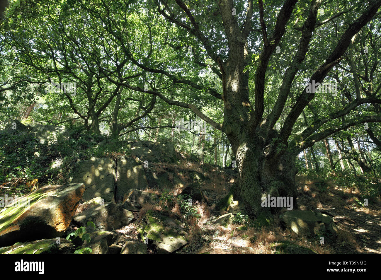 Dappled sunlight on ancient rocks and an old oak tree in the Outwoods, part of Charnwood Forest, near Loughborough,  Leicestershire. - Stock Image