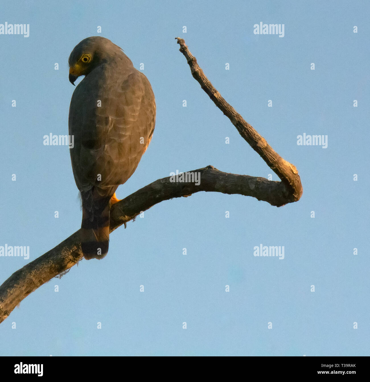 Swiveling its head almost backwards a roadside hawk peers down along back after almost sticking its beak into its left wing - Stock Image