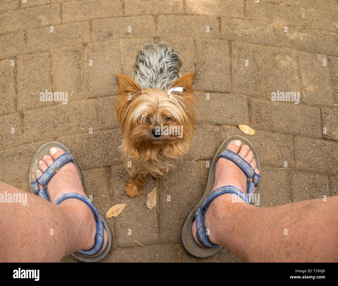 Small pet dog looking up at its owner begging to be picked up image with copy space in landscape format - Stock Image