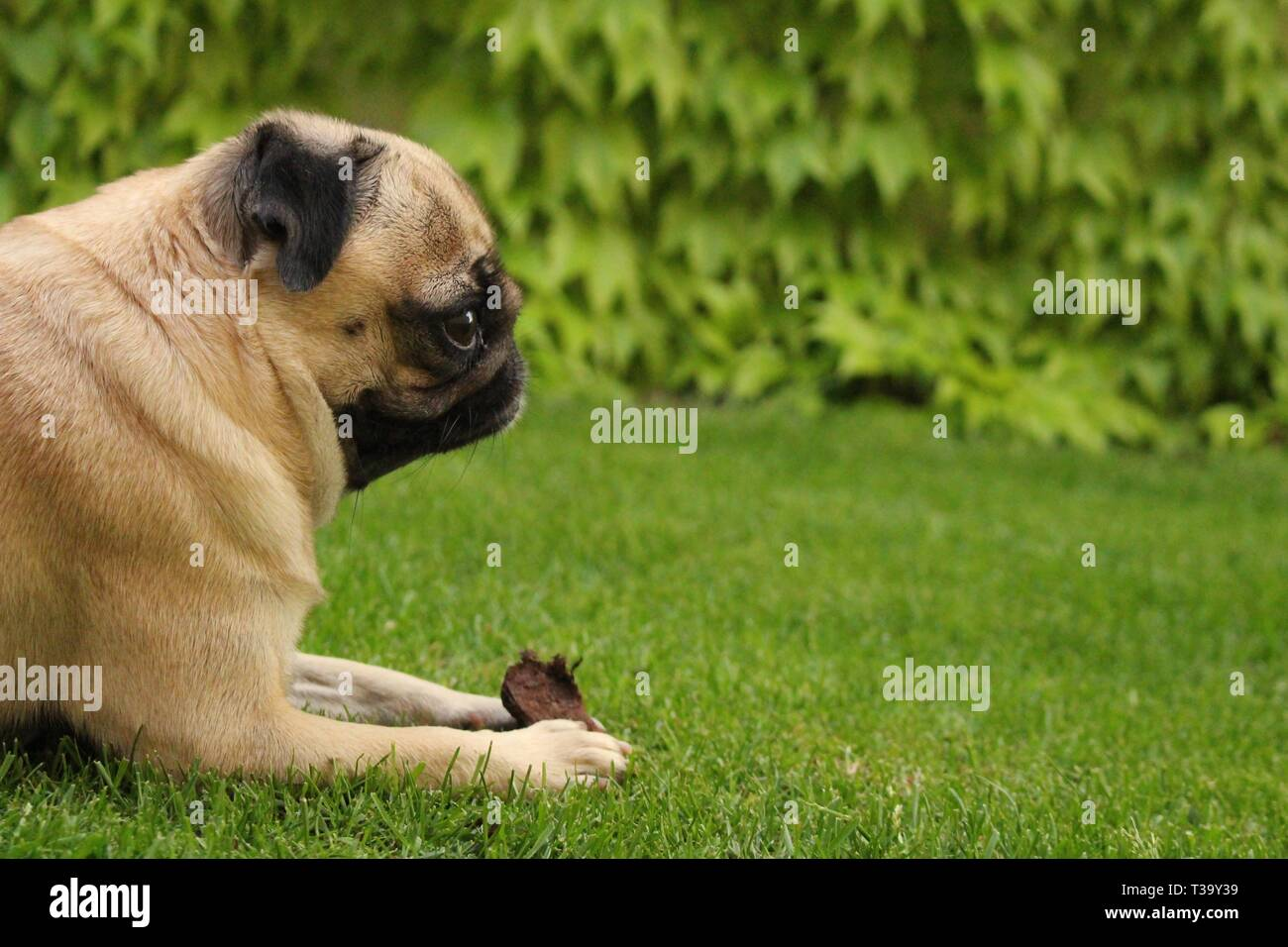 Little female pug playing on grass - Stock Image