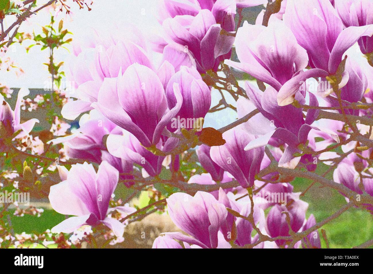 Pink lila farbene Magnolie Blüten, am Strauch im Frühjahr - Stock Image