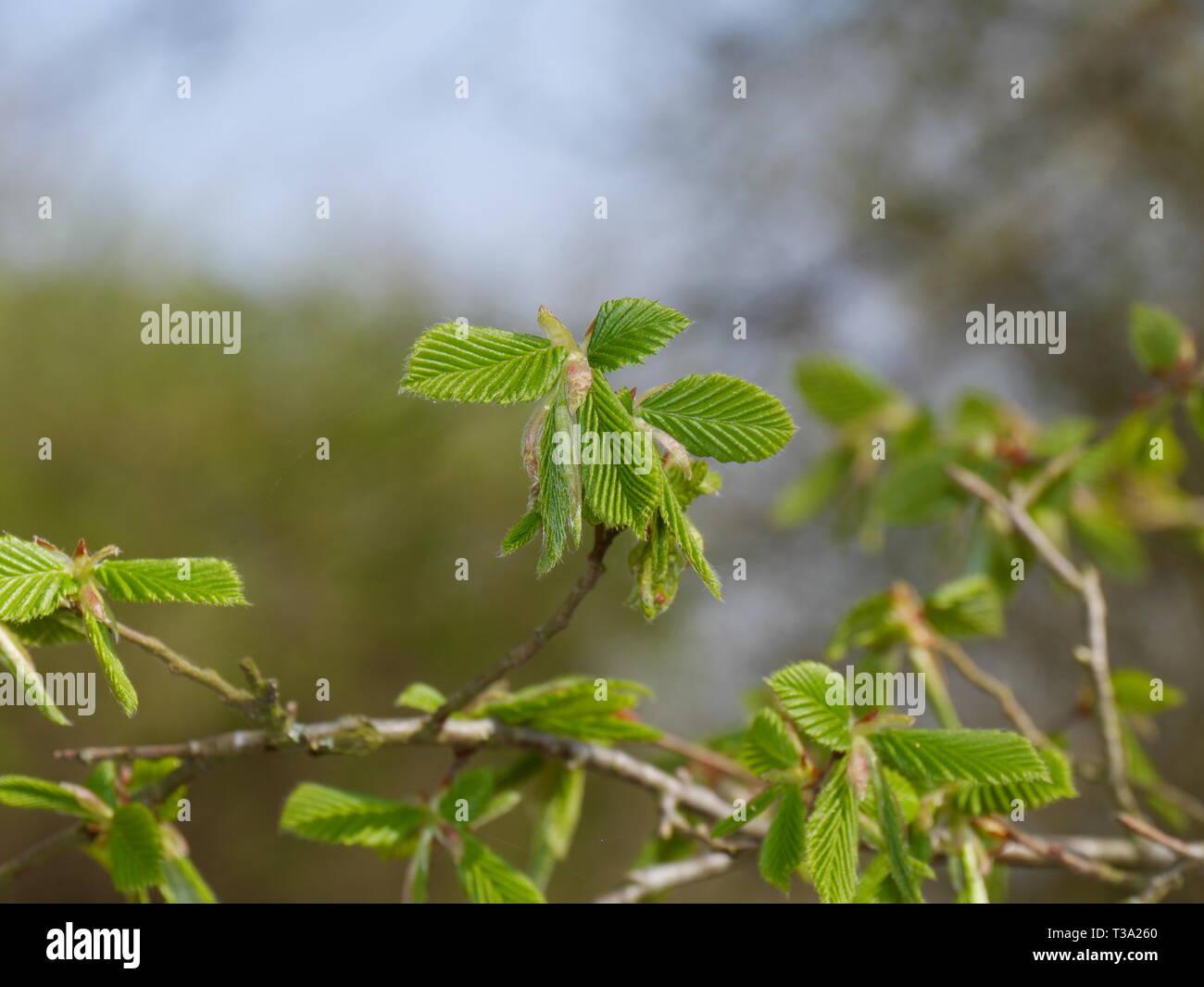 European hornbeam [Carpinus betulus] in spring time - Stock Image