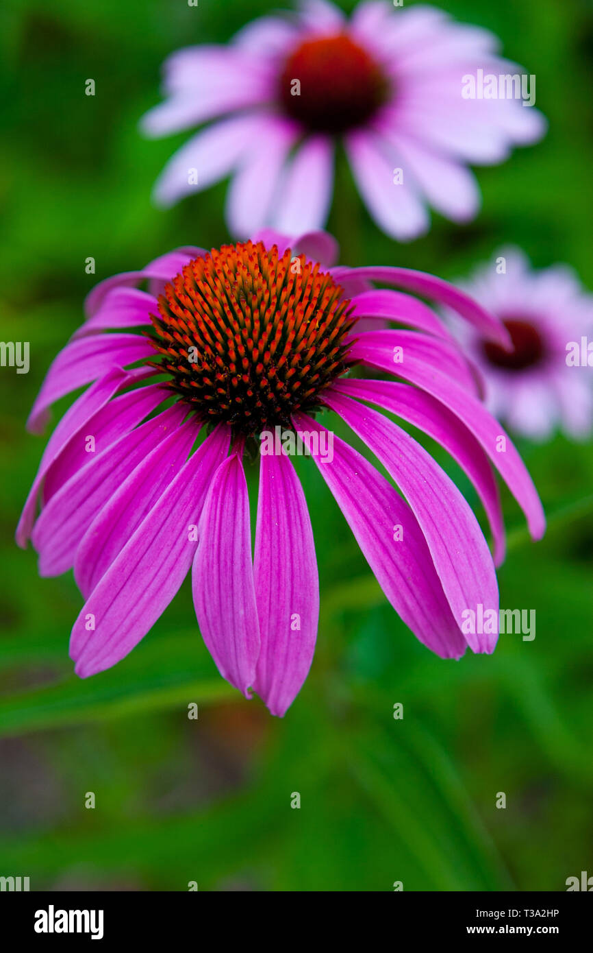 ,Echinacea purpurea; eastern purple coneflower - Stock Image