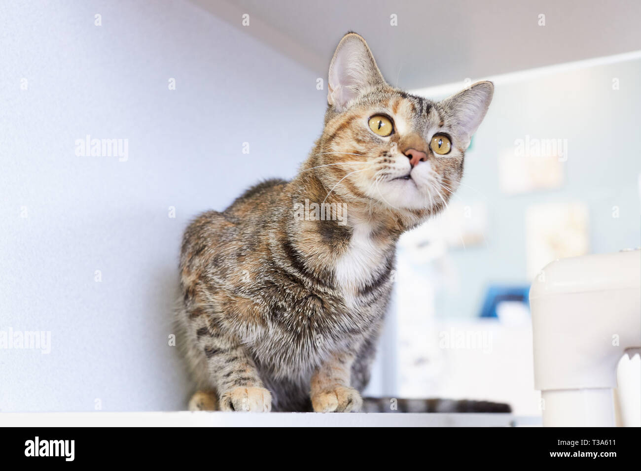 A curious and playful young brown tabby cat is sitting on a shelf by a window and looking up Stock Photo