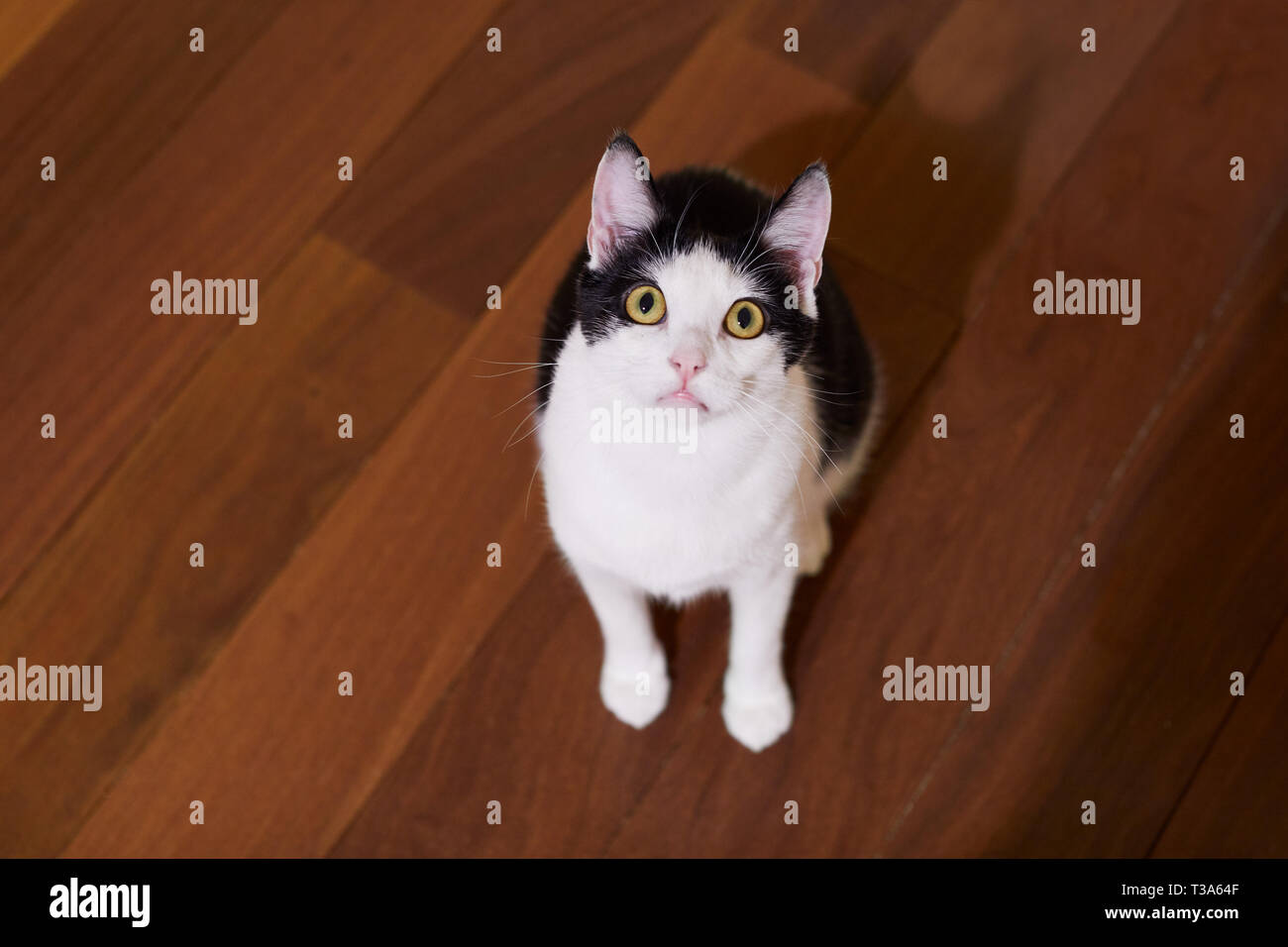 A young playful black and white cat is sitting on hardwood floor and looking up - Stock Image