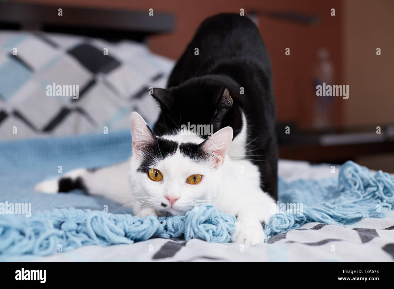 Two young cats are playing and wrestling with each other - Stock Image